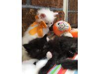 Adorable Ragdoll kittens for sale