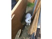Beautiful white rabbit male for sale