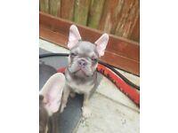 KC. French bulldog Ready Now