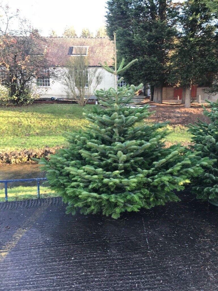 Beatifull nordmann fir christmas trees | in Stafford, Staffordshire ...