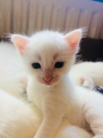 Persian x Kittens