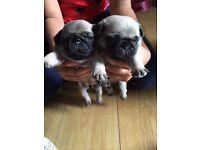 pug puppies fully kc reg