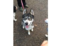 1 year old siberian husky for sale