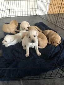 2 Male Labrador Pups Left