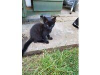 lovely female kitten for sale
