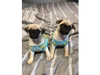 3 male kc reg pug puppies *ready to leave today