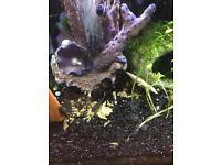 Plecos algae eating fish