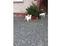 Beautiful American Bulldog puppies