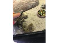 Two geckos for sale