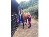🌟13.1hh Welsh section b Bay Mare. 5 year old.
