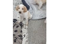 Bracco Italiano English pointer puppies licensed breeder ready to leave