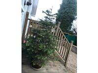 Potted Fir tree, approx 6ft tall in ceramic pot