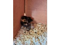 2 baby boy guinea pigs ready to go 28th oct & 2x 10 week old boy pigs