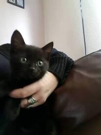 9 week old kitten female