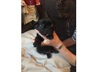 Boy French bulldog puppie