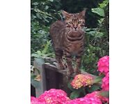 bengal cat missing warmsworth area