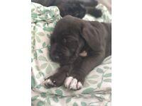 Great Dane/ Mastiff puppies