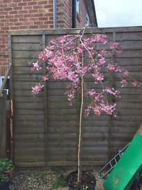 Flowering Cherry -Prunus Pendula Rubra