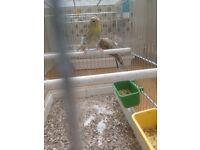 agaat yellow mosaic canaries for sale