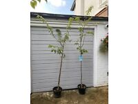 Selling two Stunning Hardy White Blossom Trees