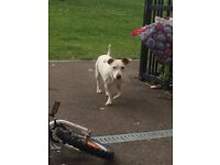 Female , staff cross jack russle