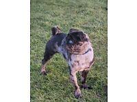 Rare merle pedigree pug with blue eyes