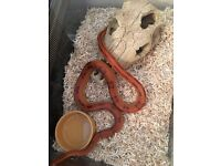 Red striped corn snake