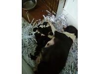 Boston Terrier puppies 3 girls 2 boys 2 weeks old ready to go in 6 weeks
