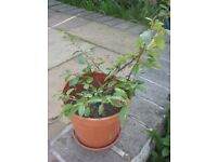 5 Pyracantha/Firethorn Young Plants - 5 for £10.00