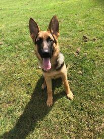 Kennel Club Registered German Shepherd Pup