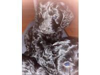 Beautiful Black F1 puppies