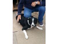 7 beautiful collie cross German shepherd pups for sale aka shollies 2 highly intelligent breeds £200