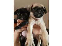 Female Black and Fawn Pug Puppies for Sale!