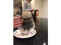 Tiny Pomeranian little girl