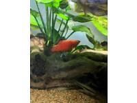 *Amazing Platy's* / Fish tank/ Fish / Aquarium