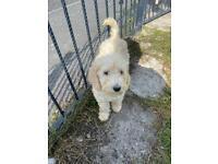 Beautiful Standard Poodle Pup