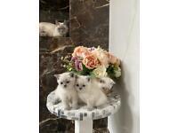 White British Shorthair Kittens
