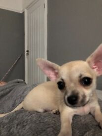 4 Male Chihuahua Puppies