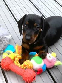 Dachshund Puppy + Large Bundle of items