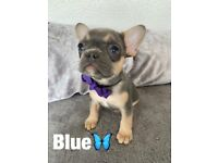 Female french bulldogs for sale best bloodlines
