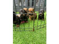 Miniature jackshund puppies