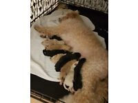 Beautiful labradoodles F2, homereared. Ready to book