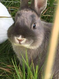 2 Netherlands Dwarf Rabbits 3 hatches / 1 Runner For Sale