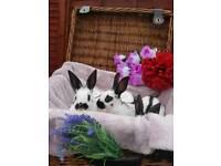 Beutiful English spot rabbits