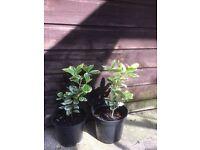 Plant Euonymus shrub