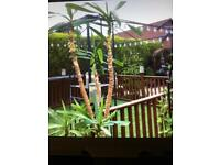 Large YUCCA plant. (Sold )