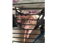 Two lovely, friendly female rats.