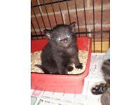 Beutiful black kittens
