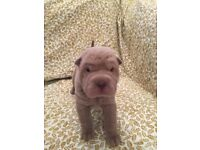 Kc reg shar pei puppies