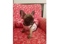 Quality French Bulldog puppies , KC registered